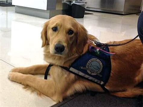 what is a comfort dog comfort dogs arrive in boston after bombing business insider