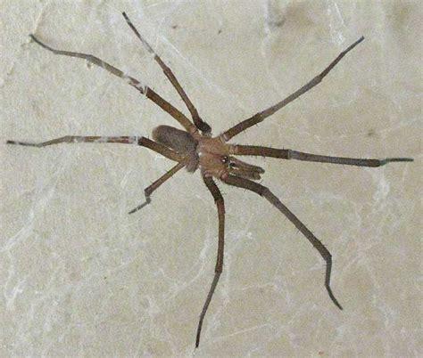 southern house spider southern house spider kukulcania hibernalis