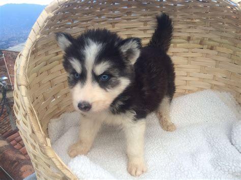husky puppies for sale ta siberian husky sale hong kong siberian husky pup buy puppy siberian husky breeders