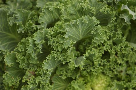 Kale Garden by Kale Planting Growing And Harvesting Kale Plants The