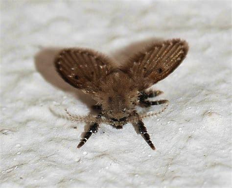 drain fly drain moth budget pest
