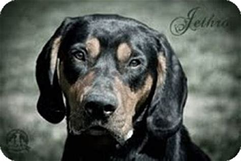 rottweiler bloodhound mix jethro adopted puppy warsaw in bloodhound rottweiler mix