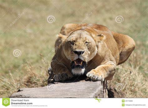 couching lion crouching lion stock photo image 23775960