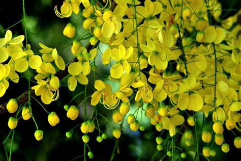new year yellow tree the happy homemaker kanikonna the golden flower tree of
