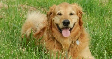 how to your golden retriever how to read your golden retrievers canine language