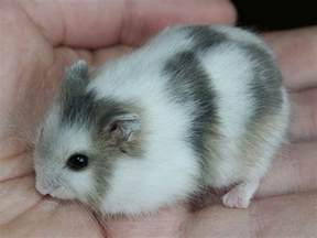 a chimera winter white hamster partly pearl partly