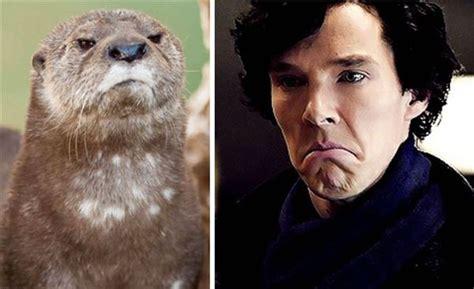 Cumberbatch Otter Meme - ベネディクト カンバーバッチ実はカワウソ説 テレビでイジられ本人も悪ノリ エニグム enigme