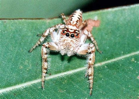 jumping spiders family salticidae
