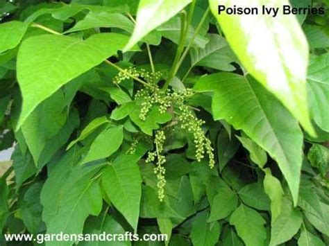 how to get rid of poison ivy gardens pinterest tips poisons and how to get rid
