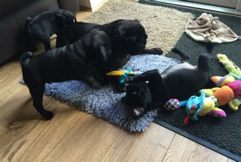 pug puppies for sale 100 dollars puppies 100 dollars for sale united states pets 7