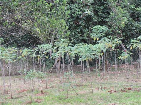 Plantation De Manioc by Mayotte De 1950 224 2015 D 233 Forestation D Un C 244 T 233
