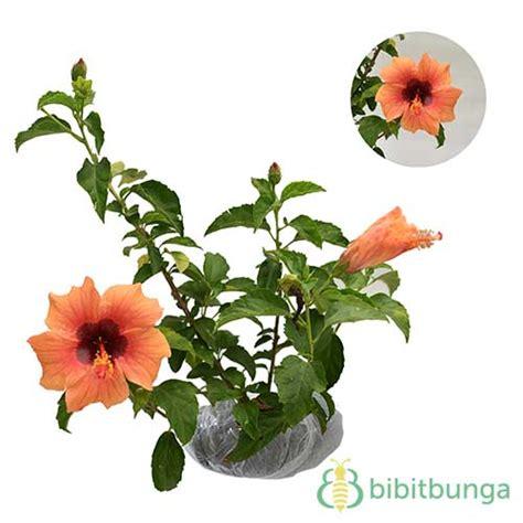 Tanaman Hisbiscus tanaman hibiscus orange clown bibitbunga