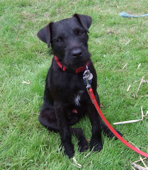 The Patterdale Terrier the patterdale terrier is 10 to 12 inches to