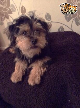 terrier shih tzu mix for sale adorable shorkie yorshire terrier mix shih tzu hyde greater manchester pets4homes
