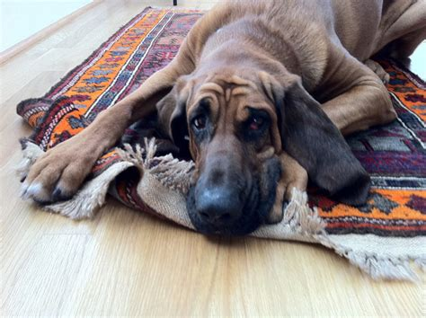 why do dogs rugs three reasons your puppy your area rugs sedona az