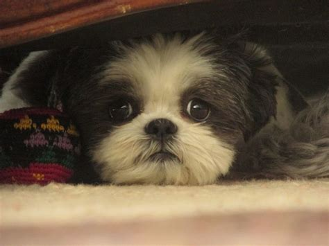 lazy shih tzu 243 best images about shih tzu heaven on animals and pets dogs and puppies