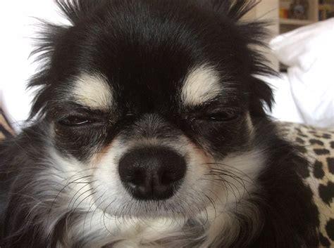il nachetto addormentato petpassion