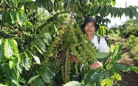 Bibit Cengkeh Bandung cara menanam kopi yang baik di perkebunan petani indonesia