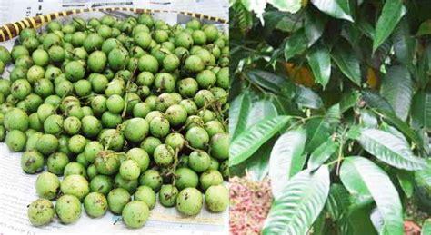 wallpaper bunga pohon dan buah nama lain buah gandaria dan 12 manfaat khasiat gandaria