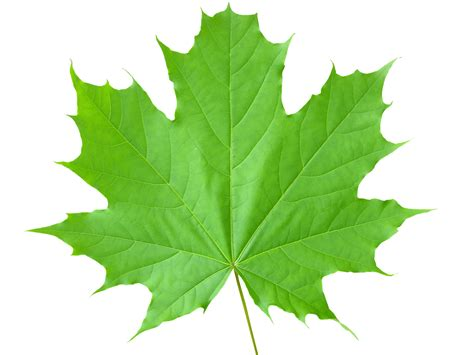 with leaves green leaf png