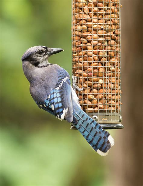 best 28 how to keep bluejays away from bird feeder