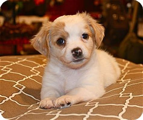 beagle puppies los angeles beagle chihuahua mix puppy for adoption in los angeles california roscoe
