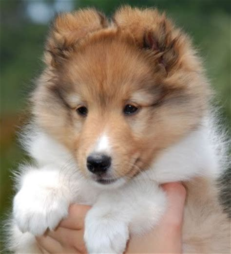 sheltie puppies for sale shetland sheepdog quot sheltie quot puppies for sale in canada