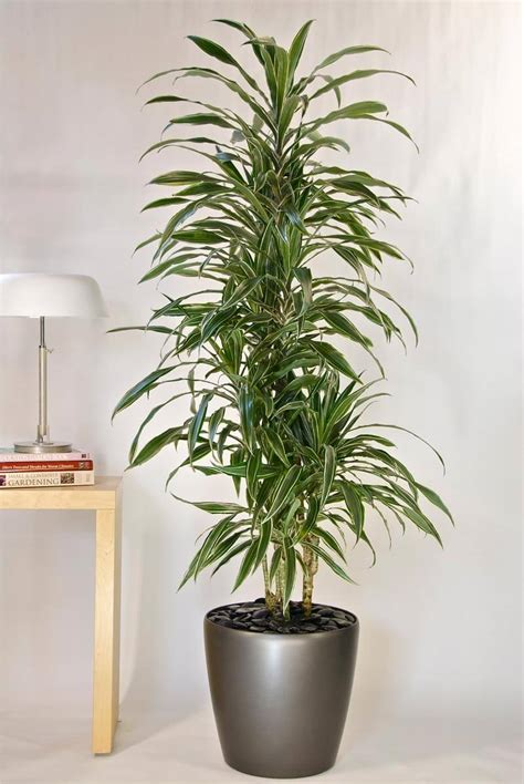 25 best ideas about large indoor plants on pinterest large floor house plants