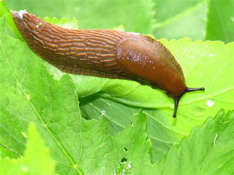 Slugs In Garden by Bugblog A Slug Day