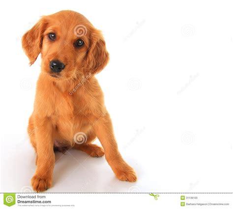 setter golden retriever mix for sell setter and golden retriever mix breeds picture