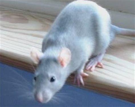 rat colors different rat colours including agouti blue chocolate