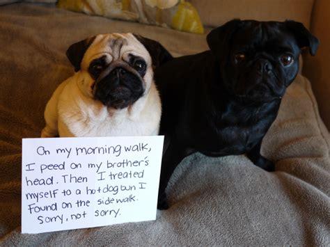guilty pug guilty pugs broadsheet ie