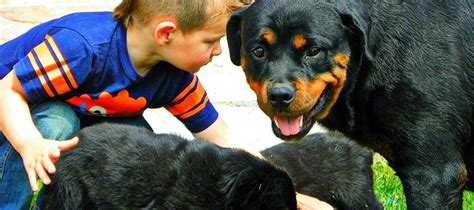 rottweiler behaviour problems rottweiler breeders in utah