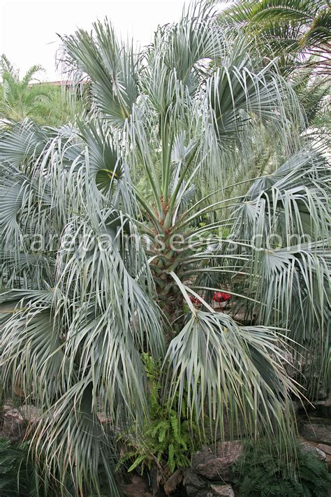 Inside Plants by Sabal Uresana Buy Seeds At Rarepalmseeds Com