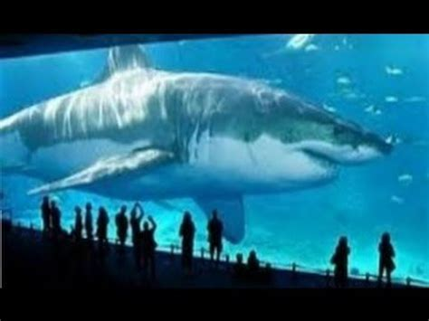 megalodon : the biggest shark ever is still alive 2016
