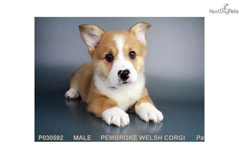 corgi puppies for sale san diego corgiii corgi puppy for sale near san diego california f07de4cc 5f91