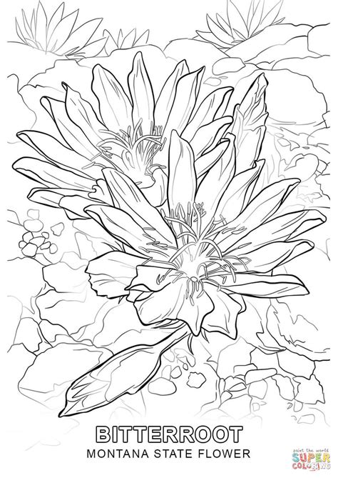 coloring pictures of state flowers montana state flower coloring page free printable