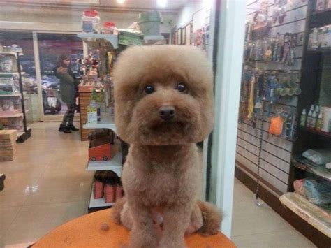 puppy haircuts taiwanese give dogs perfectly square or haircuts in trend bored panda