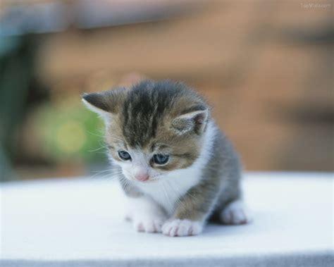 wallpaper anak harimau lucu wallpaper kucing anak kucing lucu imut gambar foto wallpaper