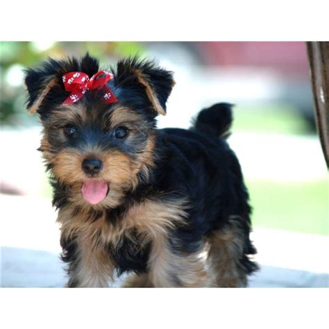health problems in yorkies terrier health issues your yorkie and some important health issues