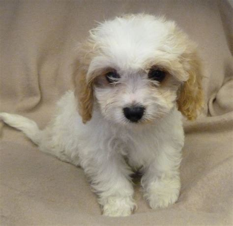 cavachon puppies cavachon puppies for sale in west pets4homes