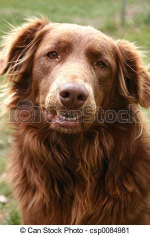 golden retriever and chocolate lab molly portrait of golden retriever chocolate lab mix focus stock photography