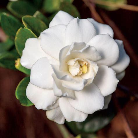 gardenia double mint  wayside gardens
