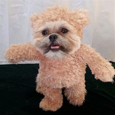 munchkin puppy image gallery munchkin