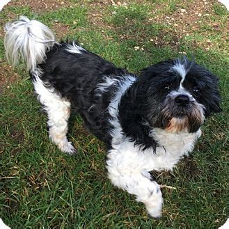 shih tzu breeders seattle quot potter quot adopted seattle wa shih tzu
