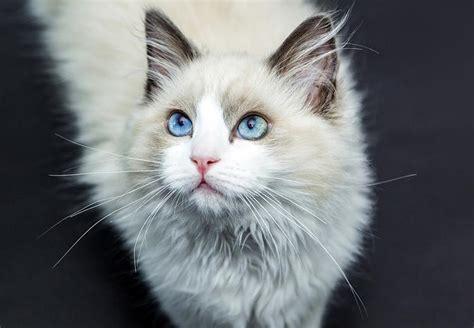 ragdoll que significa gato ragdoll razas de gato petdarling