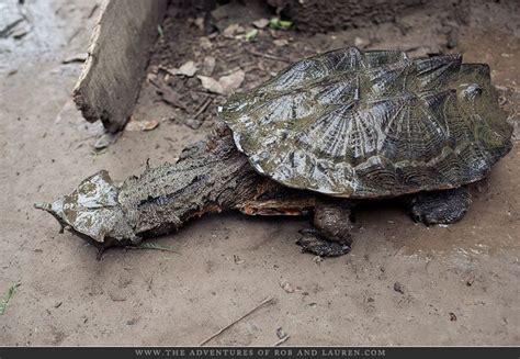 Mata Ponds mata mata turtle turtels turtles
