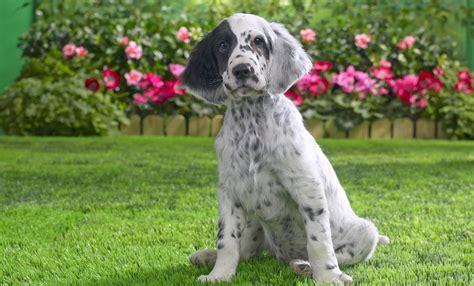 english setter dog pictures english setter
