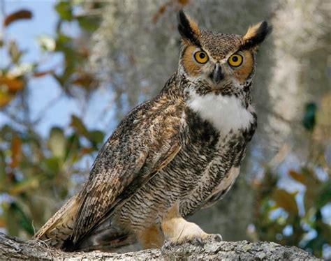 gc5b5rp iowa creatures of the night 2 great horned owl