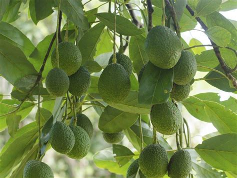Terre Pour Avocatier avocatier planter et tailler ooreka